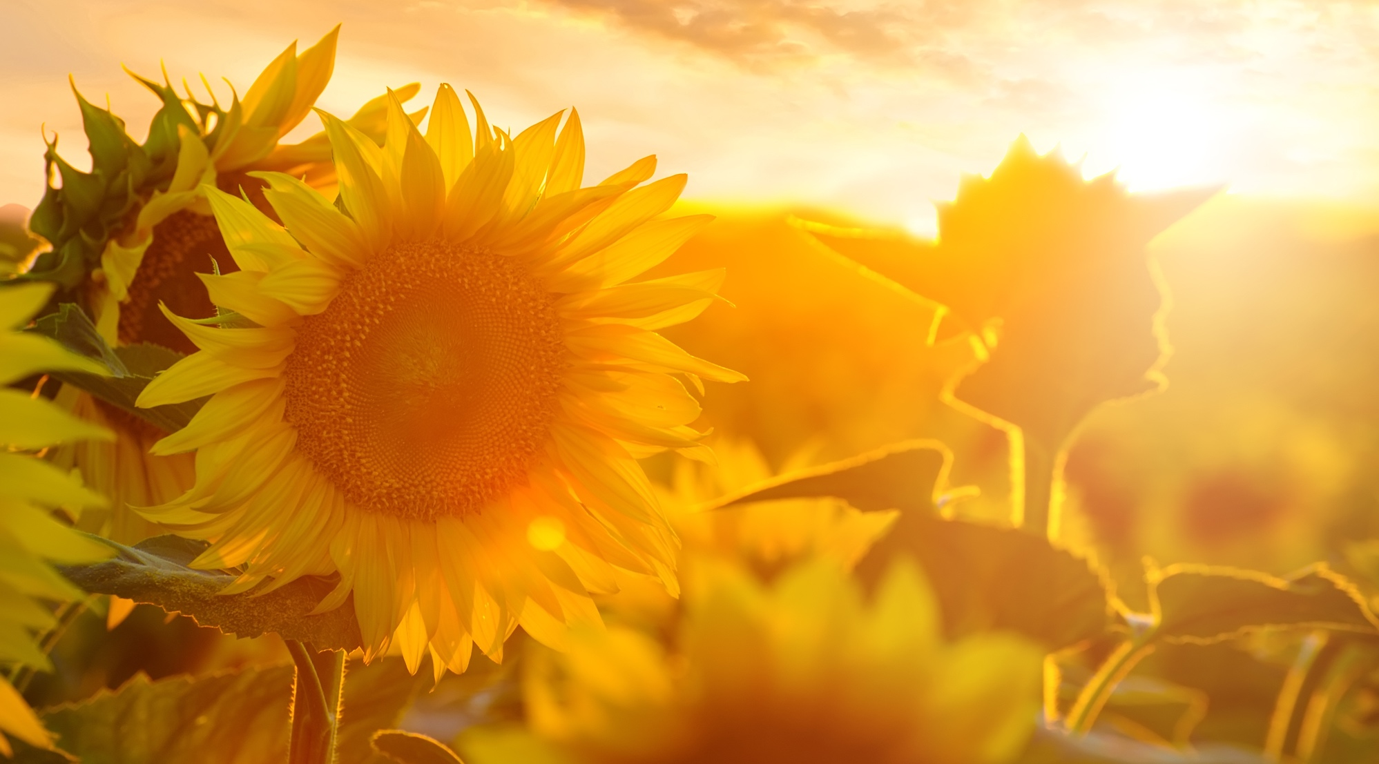 Summer landscape: beauty sunset over sunflowers field
